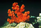 Red coral, Great barrier reef, Australia.