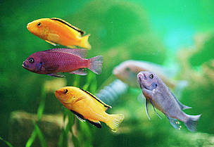 Because of their bright colours and peculiar behaviour, Malawi cichlids are popular among aquarium ... / ©: Helena Telkänranta / WWF