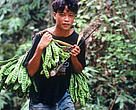 Talang Mamak people. Their trading way of life is threatened by forest clearance. Edible pods from Petal trees grow in the jungle. Sumatra Indonesia.