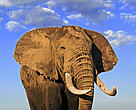 African elephant (Loxodonta africana), bull with large tusks. Amboseli National Park, Kenya.