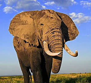 African elephant (Loxodonta africana), bull with large tusks. Amboseli National Park, Kenya