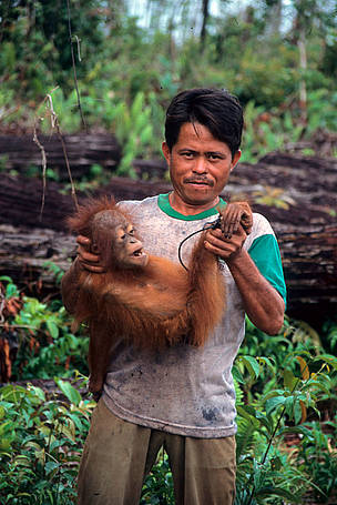 A poacher proudly shows an orang-utan baby (Pongo pygmaeus) that he has caught. Central ... / ©: Alain Compost / WWF-Canon