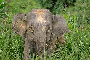 "Borneo pygmy elephant (Elephas maximus borneensis) ""Roselis"" with satellite collar in the ...  	© A. Christy Williams / WWF"