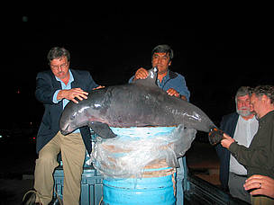 Activists bringing a dead vaquita (Phocoena sinus) to the third meeting of CIRVA in Ensenada, Baja ...  	© WWF-US / Eugene Lee