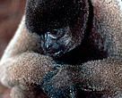 Humboldt's woolly monkey or Common wolly monkey (Lagothrix lagotricha); Amazonas, Brazil