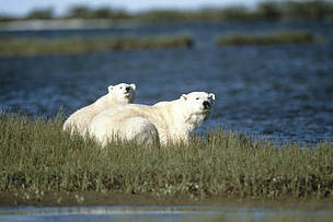 Polar bears in summer