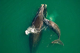 Northern right whale mother & calf off the Atlantic coast of Florida.  / ©: Brian J. Skerry / National Geographic Stock / WWF