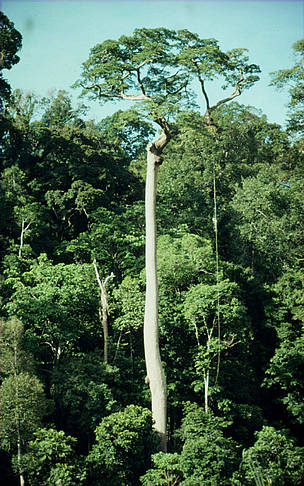 Tree emerging from tropical rainforest. Gunung Leuser National Park, Sumatra, Indonesia.   	© Alain Compost / WWF