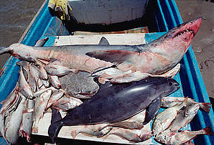 Vaquita or Gulf of California Harbor Porpoise (Phocoena sinus) caught in gill net for sharks and ...  	© National Geographic Stock/Flip Nicklin/Minden Pictures / WWF