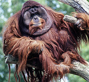 Male Bornean Orang-utan (Pongo pygmaeus)  	© David Lawson / WWF-UK