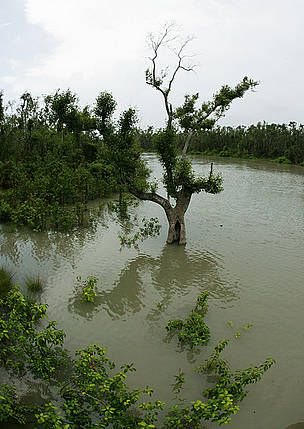 Mangrove trees, Sundarbans National Park, Bangladesh.