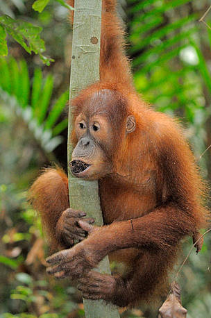 Young orangutans are exercised and