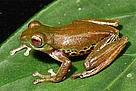 Mulu flying frog at day, Borneo