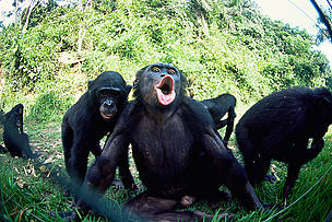 Juvenile bonobo (Pan paniscus) reacting to photographer blowing through the fence. Lola Ya Bonobo ...  	© naturepl.com/Karl Ammann / WWF