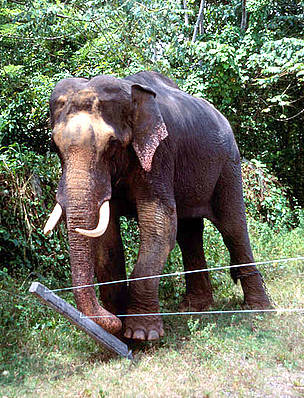 Indian elephant (Elephas maximus) pushing down fence, Sri Lanka.  	© naturepl.com/Toby Sinclair / WWF