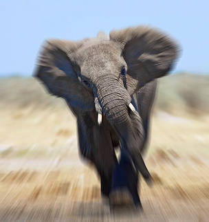 African elephant (Loxodonta africana) charging abstract, Etosha national park, Namibia.