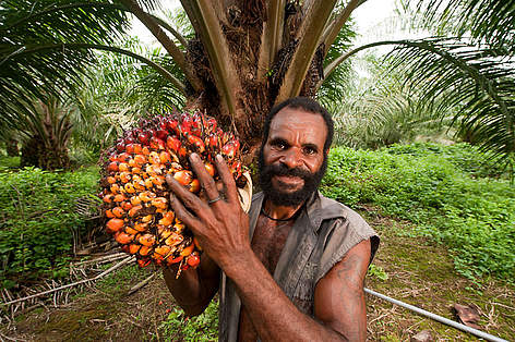 Papua New Guinean worker harvests a ripe palm fruit to ready for the mill. This facility is owned ... rel=