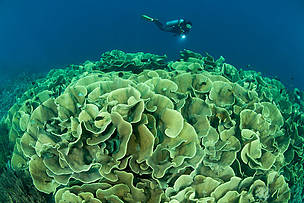 Cabbage corals, Buyat Bay, Indonesia
