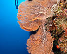 Diver swimming above a gorgonian fan coral during a wall dive. Wanci underwater, Wakatobi, South Sulawesi, Indonesia.