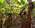 Women on a plantain plantation, Mambele, East province, Cameroon.  They are members of a WWF-supported association, the Womens Heath and Conservation Society.  WWF helps the women find sustainable sources of income and to sell their goods for a fair price.