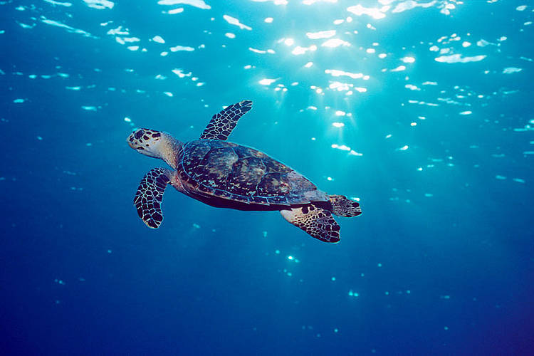 Scientists extract DNA from hawksbill turtle products to help save species