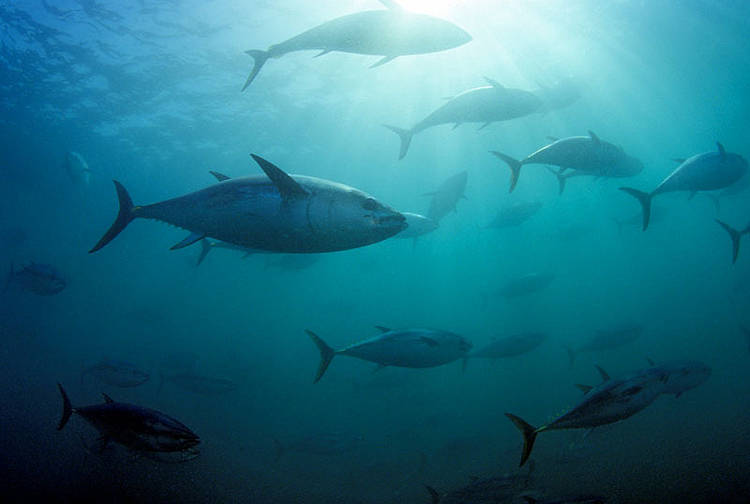 Lack of impartiality a concern in the MSC Atlantic bluefin tuna certification process, says WWF