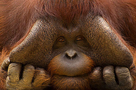 Close up face portrait of male orang utan (Pongo pygmaeus) rel=