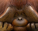 Close up face portrait of male orang utan (Pongo pygmaeus)