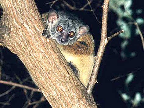 The Antafia sportive lemur was first described by scientists in 2006. rel=