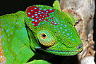 Intensive herpetological fieldwork and taxonomic revisions during the past 15 years have led to a strong increase in the number of chameleon species. During recent field work scientists discovered a colourful and highly distinct species of chameleon, Furcifer timoni, in the isolated rainforests of the Montagne d'Ambre massif 850m above sea level, in northern Madagascar.