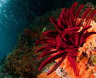 Featherstars in the Coral Reefs. Raja Ampat, West Papua, Indonesia