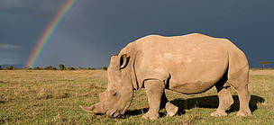 Southern white rhinoceros grazing