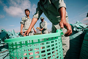 Fish farmers at one of the Hung Vuong Corporation's farms in the Mekong Delta catch and weigh pangasius fish before releasing them back into their ponds.