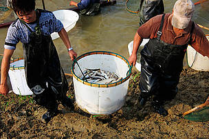 Harvesting carp and other fish on Mr Ma's fish farm