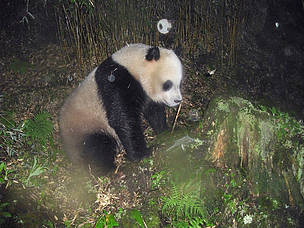 Giant Panda captured in Wang Lang NR, Sichuan, China  	© WWF China/Wang Lang NR/Peking University / WWF