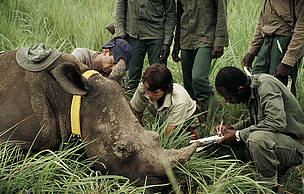 A female northern white rhino is immobilised for radio telemetry. Democratic Republic of Congo. / ©: Kes & Fraser Smith / WWF-Canon