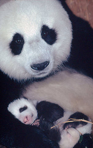 Sichuan Province young offspring newborn mom female panda  	© Susan A. MAINKA / WWF