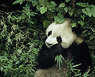 Giant panda (<i>Ailuropoda melanoleuca</i>); Wolong Research Centre, Sichuan Province, China.
