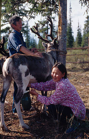 Ewenki husband and wife milking reindeer in the taiga forest camp. Sakha Republic, Russian Federation
