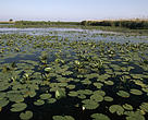 Aquatic vegetation on the Danube. Danube Delta, Romania