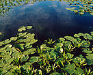 Aquatic vegetation on the Danube. Danube Delta, Romania.