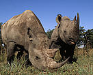 Black rhinos (Diceros bicornis); Hluhluwe Game Reserve, KwaZulu-Natal Province, Republic of South Africa