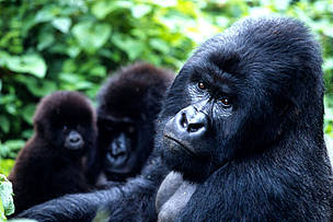 Mountain gorillas, Virunga National Park, Democratic Republic of Congo / ©: Martin Harvey / WWF
