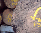 FSC logo painted on sustainably harvested logs. Uzachi forest, Oaxaca, Mexico