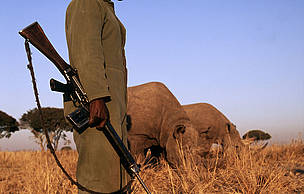 Some black rhinoceros (Diceros bicornis) are under 24 hour armed guard due to risk of poaching Africa.