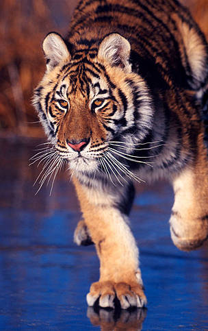 Amur or Siberian tiger (Panthera tigris altaica) on iced lake.  	© Klein & Hubert / WWF