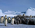 Emperor penguin colony of adults and chicks after snow storm Dawson-Lambton Glacier, Antarctica.