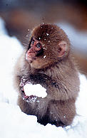 Little monkey with snowball