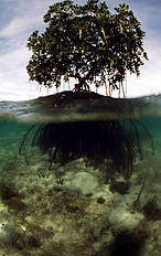 Mangroves build their own environment with its intricate root system that traps sediment. © Jürgen Freund / WWF