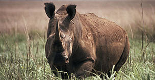 Northern white rhinoceros (Ceratotherium simum cottoni), Garamba National Park, Democratic Republic of Congo.